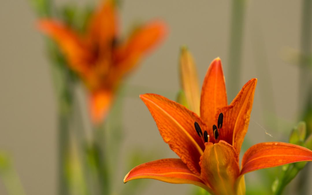 Thinning out your Irises and Lilies?